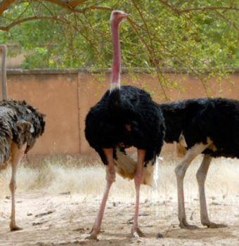 WCN's Solar Project Partners with the Sahara Conservation Fund to Save North African Ostriches