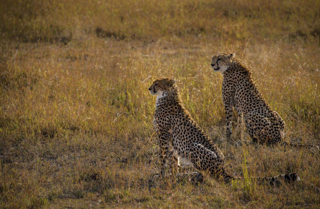 cheetahs_photo_Tom Stahl