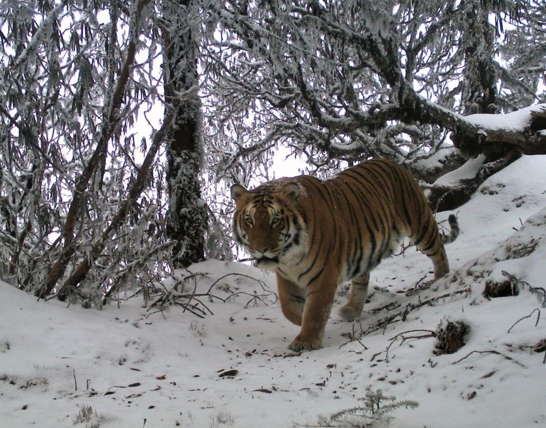 Tiger_The Ugyen Wangchuck Institute for Conservation and Environmental Research