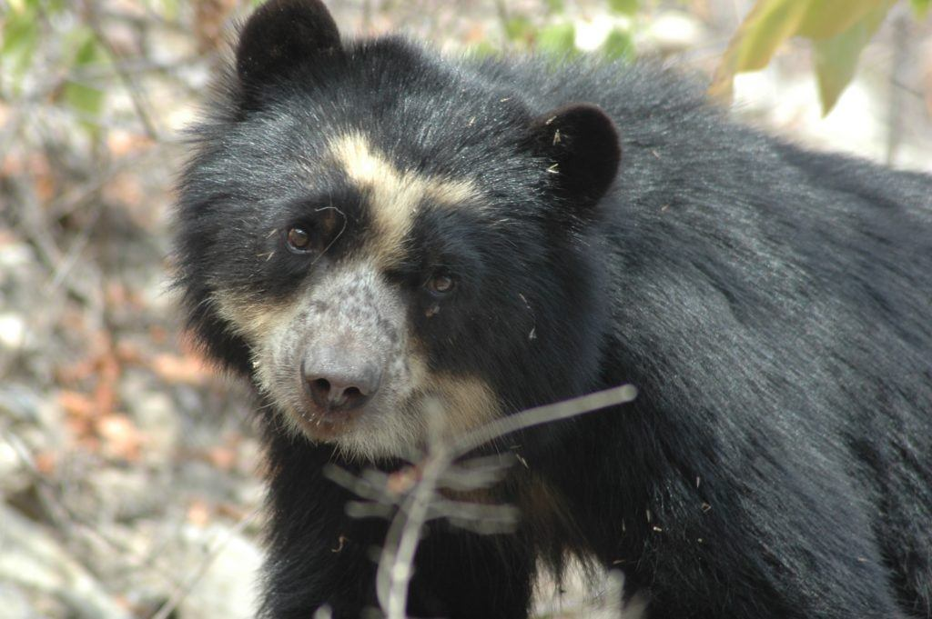 Photo Credit Spectacled Bear Conservation_Photo Sbcperu- Wild female spectacled bear (laura) - Dry Forest Peru