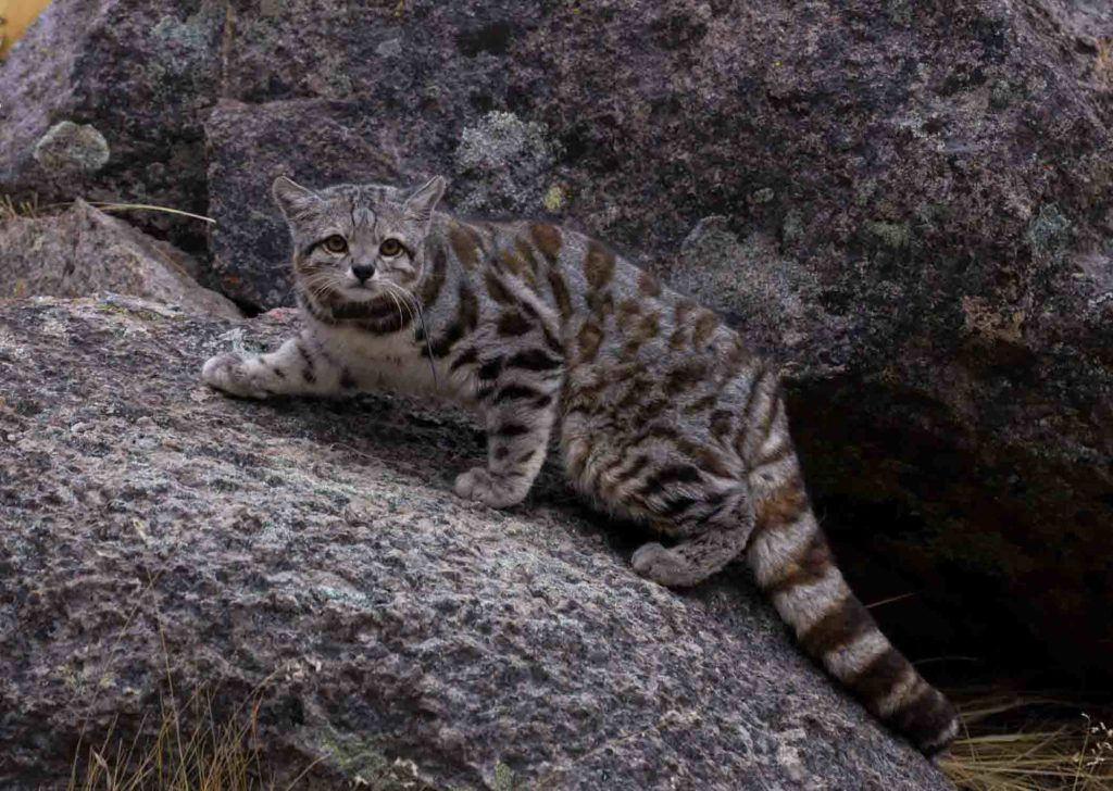 cropped and flipped_Jacobo 10_Andean cat_credit Juan Reppucci AGA