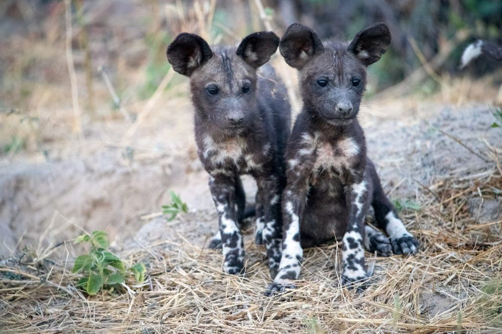 Two painted dog puppies looking straight ahead.