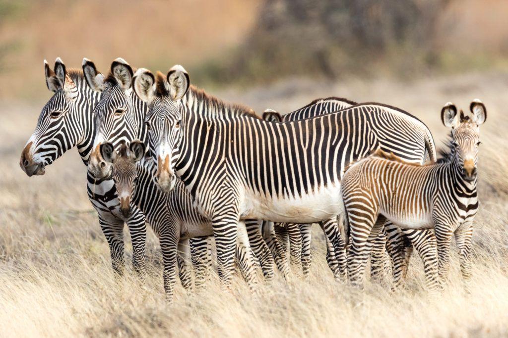 El Barta region, Lkotikal plains, Grevy's zebras grazing