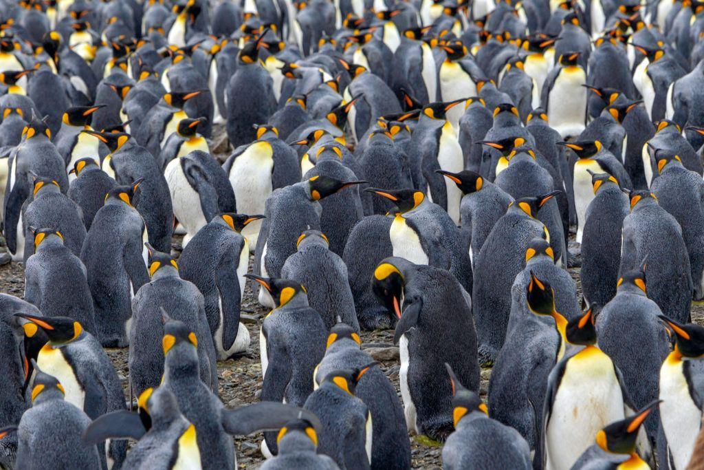 King penguins_Susan McConnell