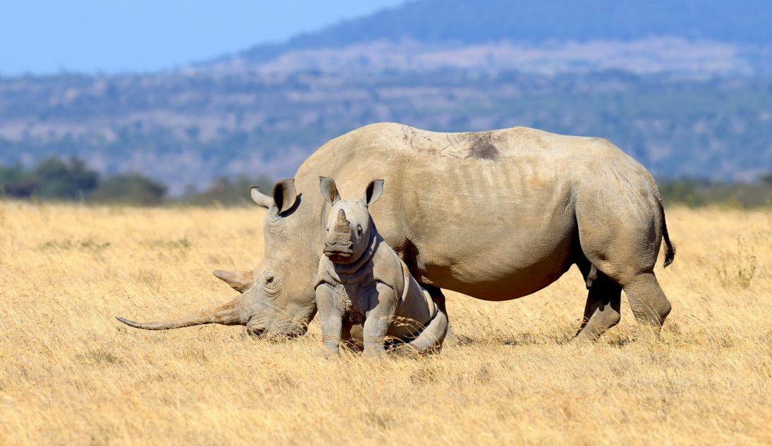 Rhino beauty shot